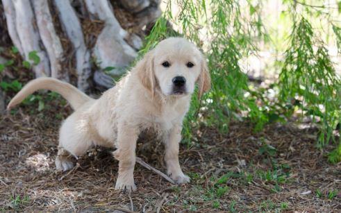 weaning-your-puppy-off-puppy-pads-in-favour-of-toileting-outside-546b0a7089ff0-1